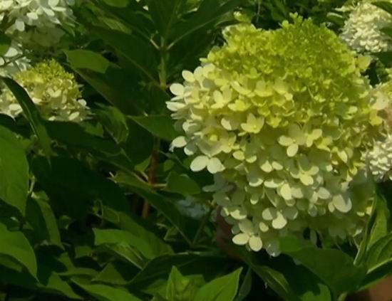 гортензия метельчатая Лаймлайт цветение