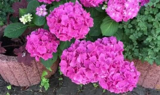 гортензия Джомари цветение