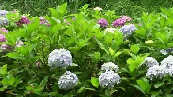 гортензия Блю Вейв цветение