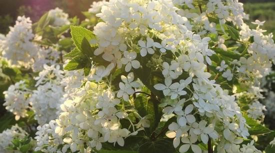 Гортензия Бомбшелл цветение