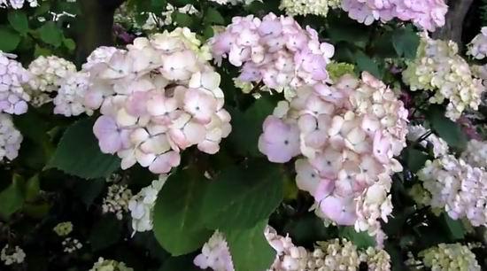 Гортензия пильчатая Прециоза цвет