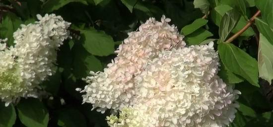 Гортензия метельчатая Грандифлора уход