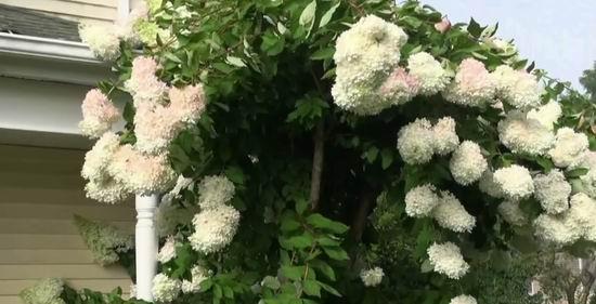 Гортензия метельчатая Грандифлора: описание, посадка и уход