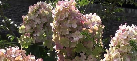 Гортензия метельчатая Пинк Леди цветение