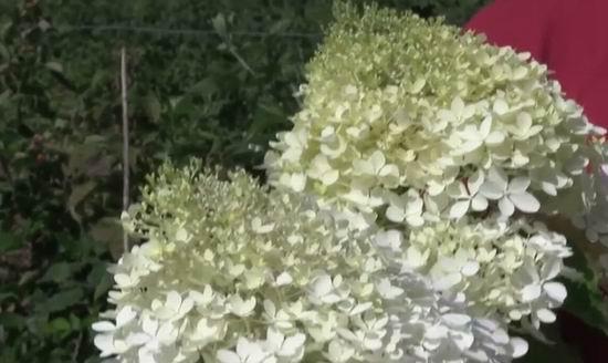 Гортензия метельчатая Юник описание, посадка, цветение, фото