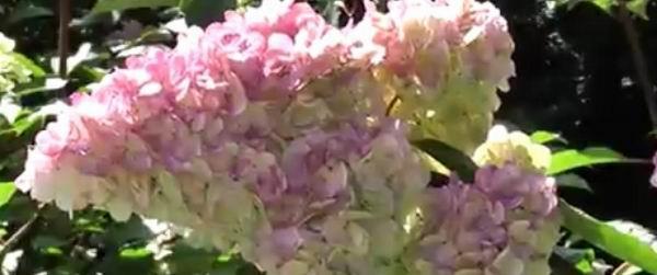 Выращиваем на участке гортензию Сандей Фрайз (Sundae fraise). Гортензия Сандей Фрайз: описание, выращивание, посадка и уход Гортензия метельчатая Great Star