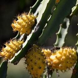 Драконий фрукт описание, виды и названия плода сердце дракона, полезные свойства и вред питахайи