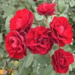 Роза Флорибунда: популярные виды и сорта с описанием и фото, рекомендации по уходу и размножению в открытом грунте