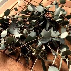 Серебристый эвкалипт цинерия: описание и виды цинерарии, правильный уход и выращивание, эвкалиптовое масло польза и вред