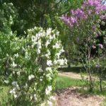 Карликовая персидская сирень и махровая, популярные виды и сорта, уход и размножение, фото