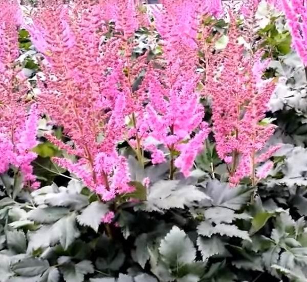 Астильба посадка и уход в открытом грунте, цветение и описание цветка, особенности выращивания и размножения астильбы, названия сортов и фото