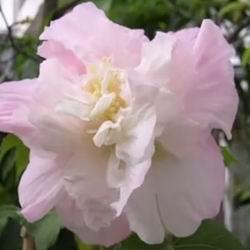 Садовый гибискус: размножение, посадка семян, выращивание и зимний уход за цветами