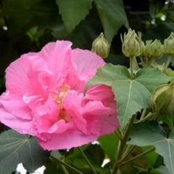 Гибискус садовый, посадка и уход, как гибискус зимует в саду