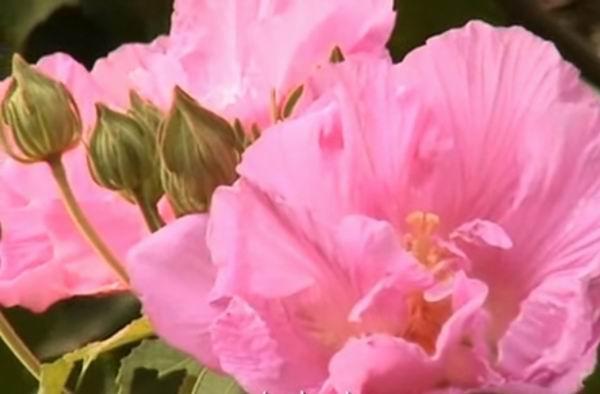 Гибискус садовый - красивый и неприхотливый кустарник