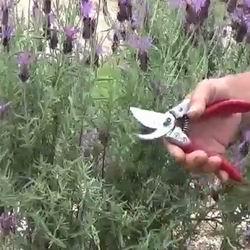 Цветы лаванда посадка и уход в открытом грунте в Подмосковье, описание и виды цветка, правильное выращивание из семян, фото в ландшафте, польза и вред для организма