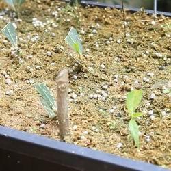 Глициния посадка и уход в саду. Глициния. Выращивание в комнате. Выбор места посадки и грунта