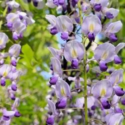 Садовая глициния уход и выращивание в Подмосковье, популярные виды и сорта вистерии с фото, правильная посадка и обрезка для начинающих