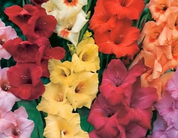 Выращивание гладиолусов (фото) посадка и уход: полезные советы