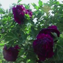 Пионы посадка и уход в открытом грунте, популярные виды и сорта с фото, сочетание с другими растениями в ландшафтном дизайне, как ухаживать за травянистым и древовидным пионом