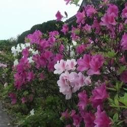 Садовая азалия или рододендрон посадка и уход в открытом грунте в Подмосковье, морозоустойчивые сорта названия и фото, проблемы выращивания и размножения