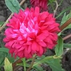 Цветок многолетняя астра посадка и уход в открытом грунте, выращивание из семян и рассады пионовидного сорта с фото, названия и описание октябрины