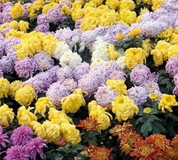 Фиолетовые хризантемы описание сортов значение выращивание