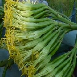Цветок юкка садовая посадка и уход, цветение и описание цветка, особенности выращивания и пересадки садовой пальмы, виды и сорта в ландшафте фото
