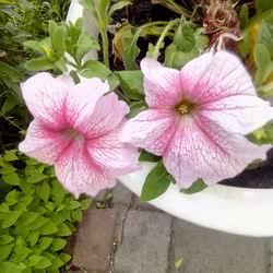 Цветы петуния ампельная: как ухаживать и выращивать, какую петунию и сколько штук сажать в кашпо, петуния сорта фото и названия