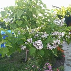 Орхидейное дерево катальпа: правильная посадка и уход, размножение и выращивание из семян, сорта и фото великолепной катальпы
