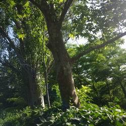 Восточный платан фото: описание и виды чинары, рекомендации по уходу за деревом, выращивание из семян, что такое «чинарики»