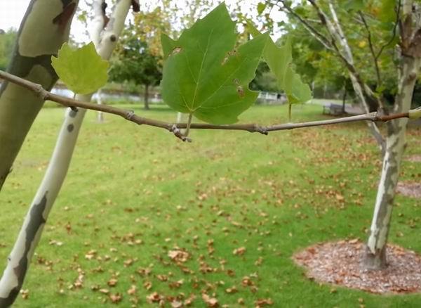 Платан – выращивание, посадка, размножение и уход