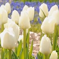 Ранние и поздние махровые тюльпаны: посадка и уход в Подмосковье, фото популярных видов и сортов, цветение и размножение, проблемы выращивания лилейных и попугайных