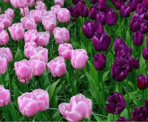 Черные тюльпаны: основные сорта, фото, особенности выращивания