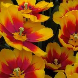 Популярные виды и сорта тюльпанов фото, цветение и описание цветка, особенности выращивания и ухода