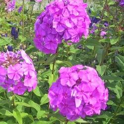 Цветы флоксы многолетние посадка и уход фото, размножение метельчатого и шиловидного вида черенками и семенами
