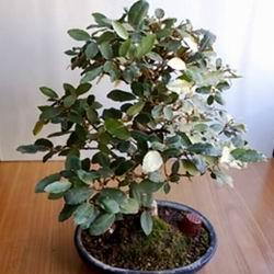 Дерево лох серебристый описание и применение, лох индийский фото в дизайне сада, плоды и ягоды лоха узколистного, полезные свойства