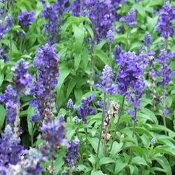 Трава шалфей лечебные свойства и применение, сальвия противопоказания для женщин, шалфей лекарственный и дубравный фото