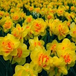 Цветок нарцисс посадка и уход в открытом грунте, фото и описание, картинки видов и сортов, выращивание из луковицы