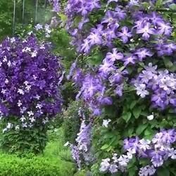 Садовые лианы клематисы посадка и уход в открытом грунте, как вырастить княжик, размножение и борьба с болезнями, виды и сорта с фото