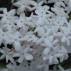 Душистый жасмин кустарник: посадка и уход в открытом грунте, выращивание и размножение растения чубушник