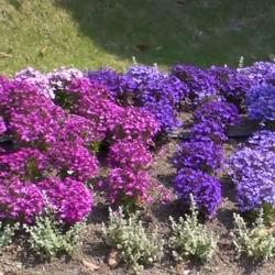 Цветы ампельная лобелия выращивание из семян в домашних условиях, посадка и уход кустового сорта, название сорта и фото на клумбе кустов