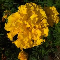 Многолетние бархатцы посадка и уход, выращивание из семян: когда сажать чернобривцы в открытый грунт, лечебные свойства и фото тагетес