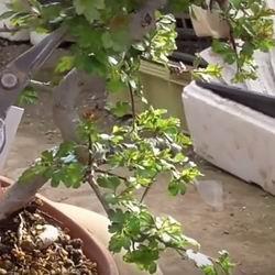 Обыкновенный боярышник кроваво красный, описание и фото, уход и посадка глода, плоды и ягоды их полезные свойства и противопоказания