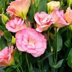 Лизантус или эустома многолетняя: посадка и уход фото, выращивание из семян на Урале, лизантус размножение корнем
