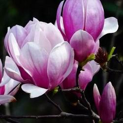 Душистая магнолия цветок виды и сорта в открытом грунте в Подмосковье и на Урале, уход и выращивание, фото и названия