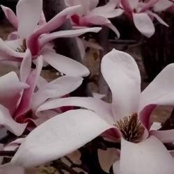 Цветущее дерево магнолия посадка и уход в открытом грунте Подмосковья, фото видов