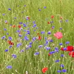 Садовый василек махровый: посадка и уход, выращивание из семян, фото видов и сортов, волошки в картинке