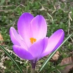 Цветы крокусы фото: посадка осенью сроки посадки весной, уход и выгонка шафрана, размножение первоцветов в открытом грунте