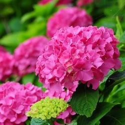 цветок гортензия Букет Роуз