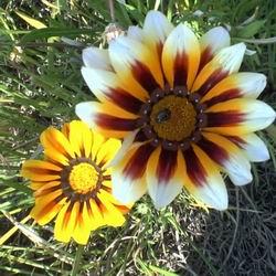 цветок ромашка гацания